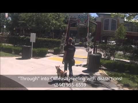 200 Offleash K9 Training Sacramento Shiba Inu Sierra Youtube