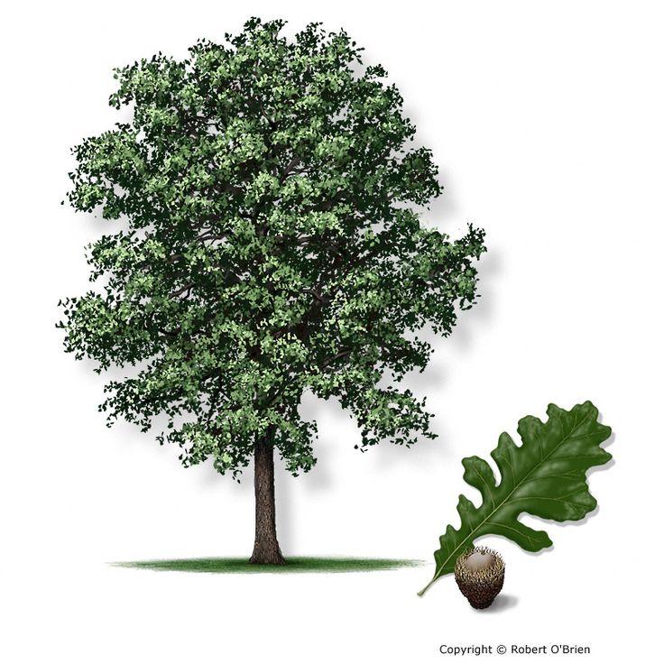 Bur Oak Quercus Macrocarpa Secondary Names: Mossycup Oak