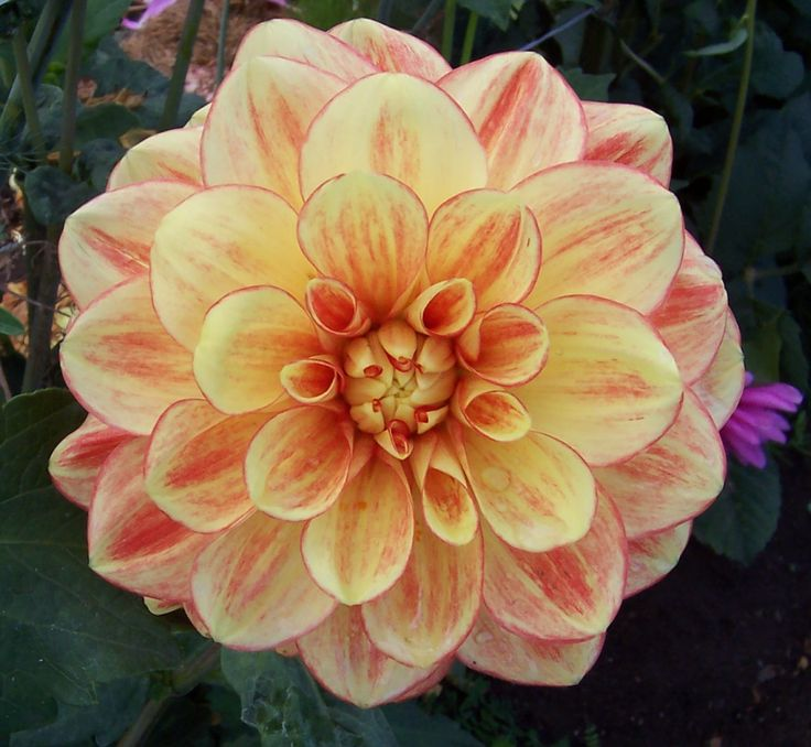 1627 best dahlia flowers.. images on pinterest | flowers garden