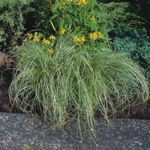The amazon mist carex grass plant is comprised of slender for Ornamental grass yellow