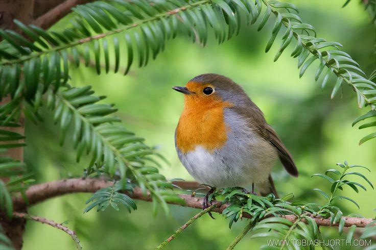 European Robin 1 by tobias hjorth