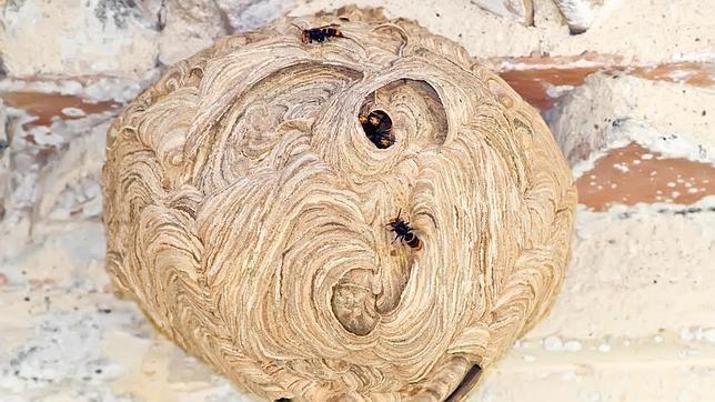 Nidos de avispa asiática siembran la alerta en Galicia