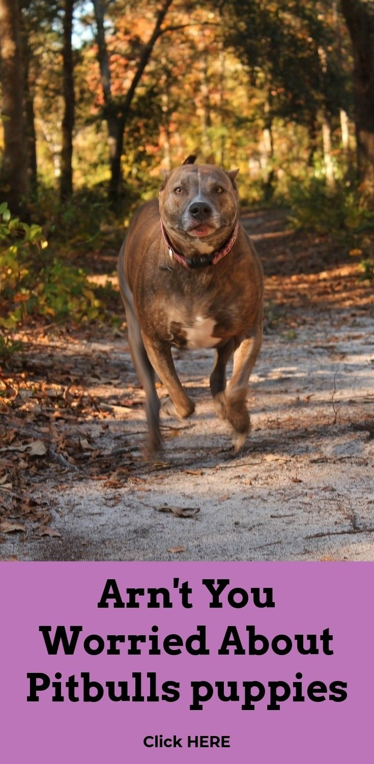 Visit The Site Above Click The Highlighted Bar For Even More Selections How To Make My Dog Gain Weight Pitbull Pitbulls American Pitbull Pitbull Training