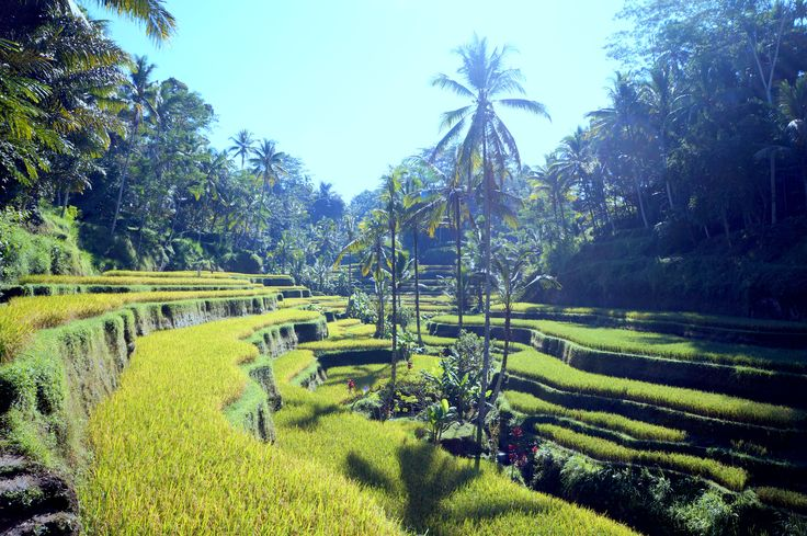 Tegalalang Rice Terrace - Ubud - Bali 2014