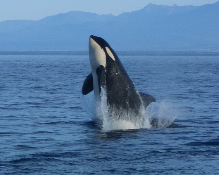 There are so many fantastic opportunities for whale watching around Vancouver Island. #YouWontBeSorry #Sooke
