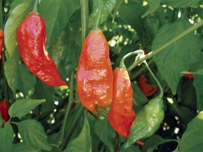 Naga Jolokia aka Bhut Jolokia and Ghost Pepper-worlds hottest chili pepper. I have a naga jolokia pepper sauce and all you need a drop.