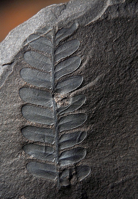 """Fossil Fern- """"Fossil Fern  This is a fossil fern that I found in Russellville AR and its from the Pennsylvanian, an era within the Carboniferous, which was about 300 million years ago, rounded off of course. I believe it to be a neuropteris fern."""""""