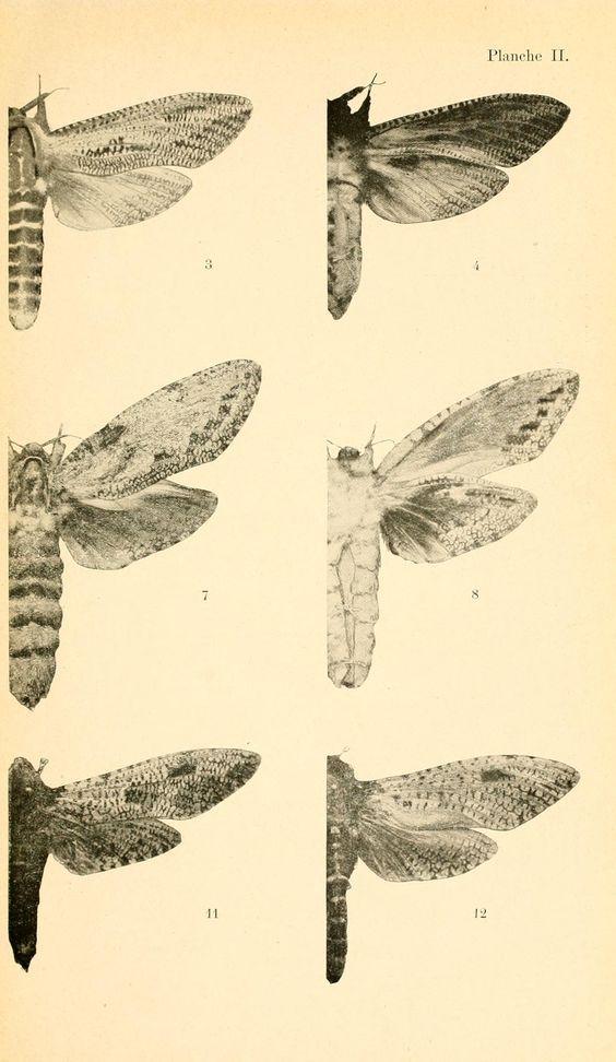Plate II. Lepidoptera wings. Les motifs primitifs du dessin des ailes des lépidoptères et leur origine phylétique. 1916.