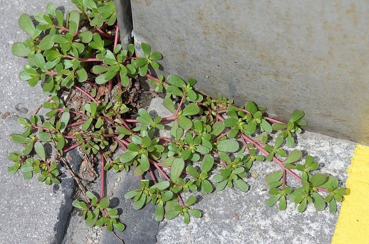 Purslane - Yes, it IS considered a common weed to many. But it has more beneficial Omega 3 fatty acids than many fish oils and one of the highest levels of vitamin A among all leafy green vegetables!