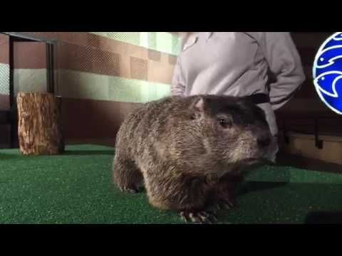 Watch Groundhog Day 2017: Chattanooga Chuck's Prediction! #Tennessee #GroundhogDay #Winter #Spring