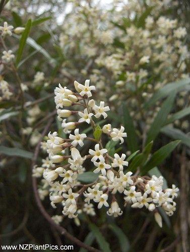Parsonsia heterophylla  NZ Jasmine, New Zealand native jasmine