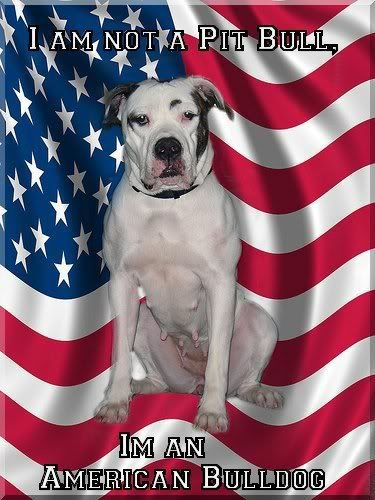AMERICAN BULLDOG Photo:  This Photo was uploaded by BullyMomma96. Find other AMERICAN BULLDOG pictures and photos or upload your own with Photobucket fre...