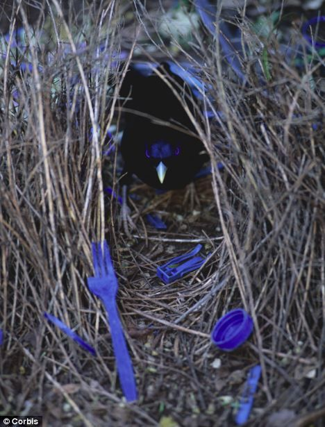 Male bowerbirds are well known for making elaborate constructions of sticks and decorative objects to attract a mate.