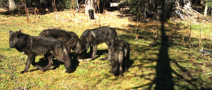 First wolf spotted in Nevada in nearly a century | THE WILDLIFE SOCIETY