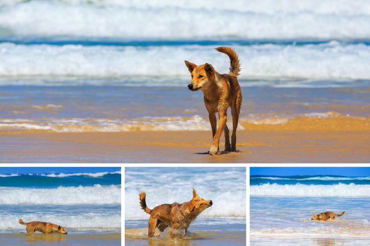 11 Fraser Island dingoes that love to strut - Swimming dingo by @jewelszee #thisisqueensland