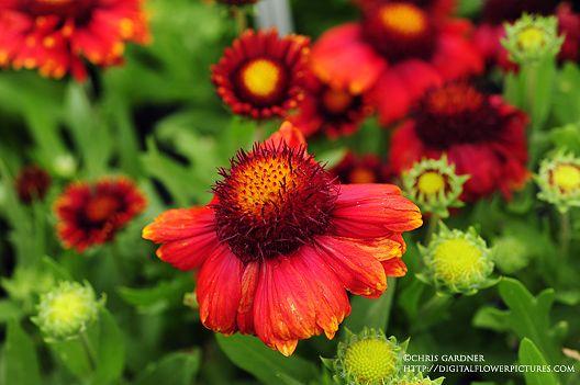 Blanket Flower Gaillardia 'Arizona Red Shades' (gay-LAR-dee-uh) Synonym: Indian Blanket