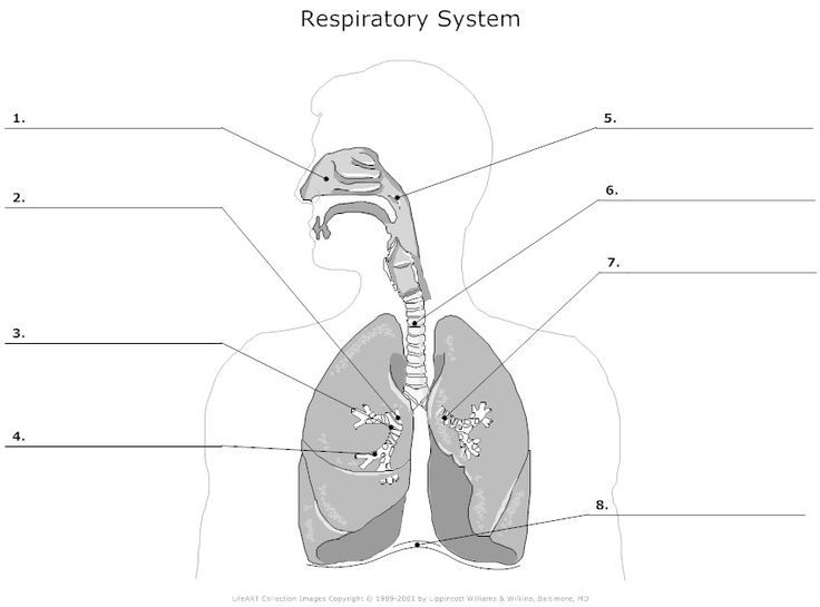 8 best human physiology images on pinterest science health and the human respiratory system worksheet bing images ccuart Choice Image