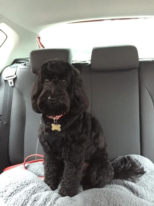 17 Best Ideas About Cockapoo Grooming On Pinterest