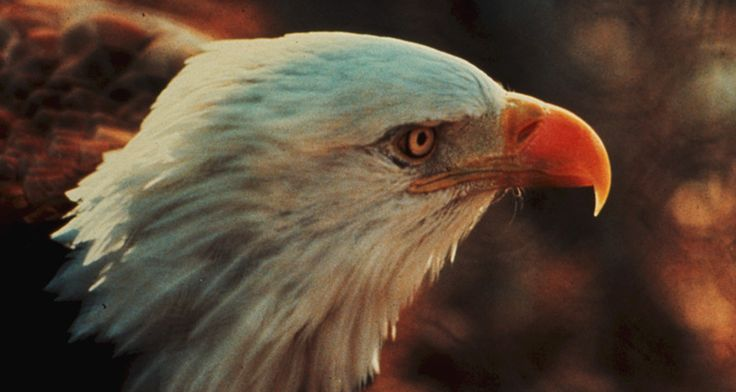 Bid to make Sonoran Desert bald eagle endangered denied - A federal court has rejected a bid to declare the Sonoran Desert bald eagle an endangered species, saying the U.S. Fish and Wildlife Service acted properly when it determined the birds were no different than other bald eagles. The rulingMonday by a panel of the 9th U.S. Circuit Court of Appeals... - http://azbigmedia.com/ab/bid-sonoran-desert-bald-eagle-endangered-denied