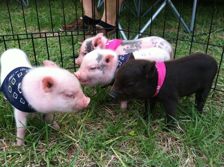 teacup pig full grown - Google Search | Cute Animals ...
