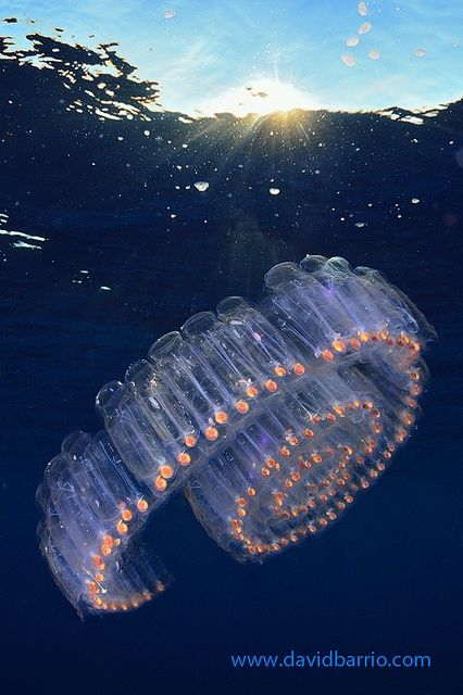 Salp chain by  by Davichin  Salps are tunicates that swim by jet propulsion, taking in water through a siphon at one end of their bodies and expelling it at the other. Four-inch (10.2-centimeter) salps link together to make luminous chains up to fifteen feet (4.6 meters) long!