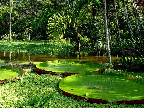 Giant Lilly Pads In The Amazon Rain Forest, Peru