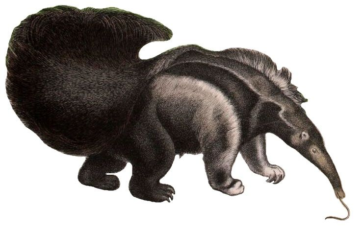 Giant Anteater #history #geography #science #world #life # ...