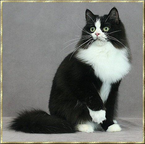 Ragamuffin Cat Tuxedo Markings On This Particular Cat