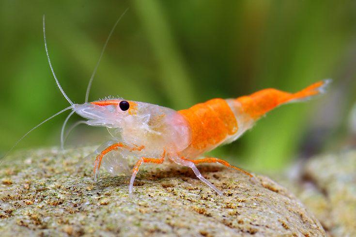 Neocaridina Heteropoda var. orange, aka Orange Rili Shrimp