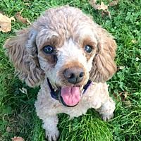 Sherman Oaks, California - Toy Poodle. Meet Minnie, a for adoption. https://www.adoptapet.com/pet/20300918-sherman-oaks-california-toy-poodle