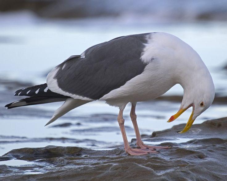 western washington bird sightings | Western Gull Larus occidentalis