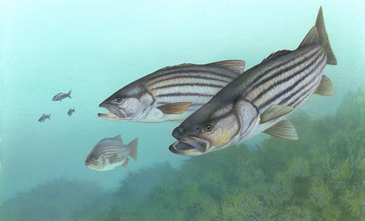 bass lure pictures | 描述 Striped bass FWS 1.jpg