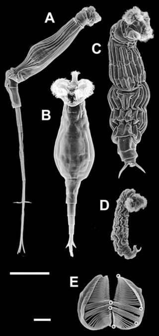 PLOS Biology: Independently Evolving Species in Asexual Bdelloid Rotifers