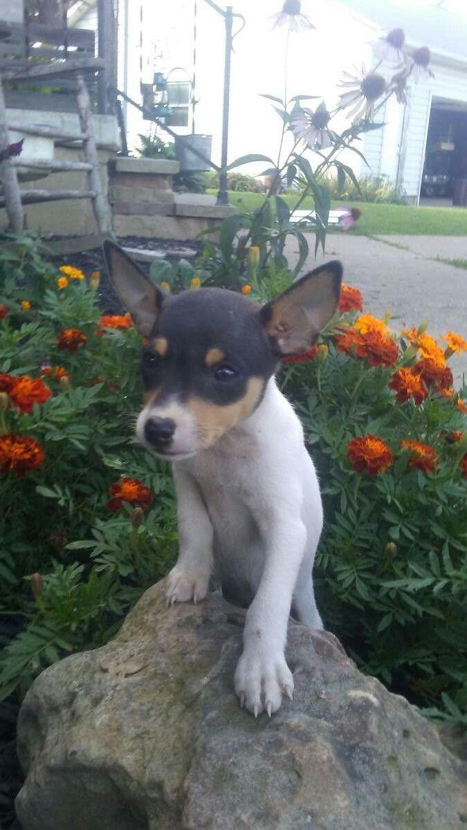 665 besten toy fox terriers Bilder auf Pinterest | Füchse, Hunde und ...