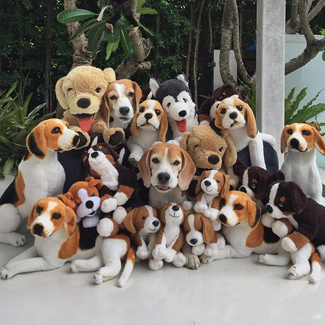 Will The Real Beagle S Bark Out Loud Cute Beagles Beagle