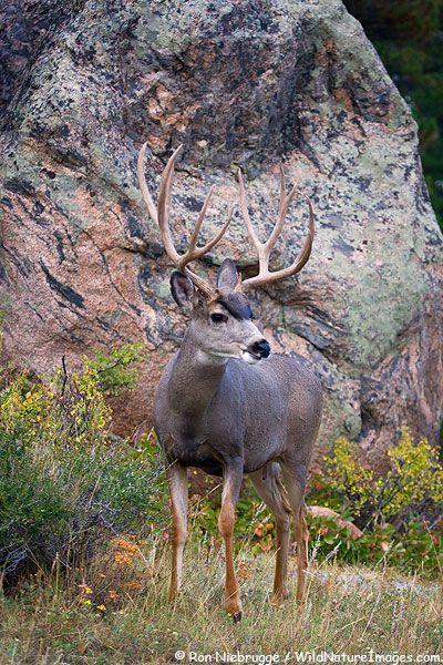 Mule Deer!! That would be a dream hunt!!