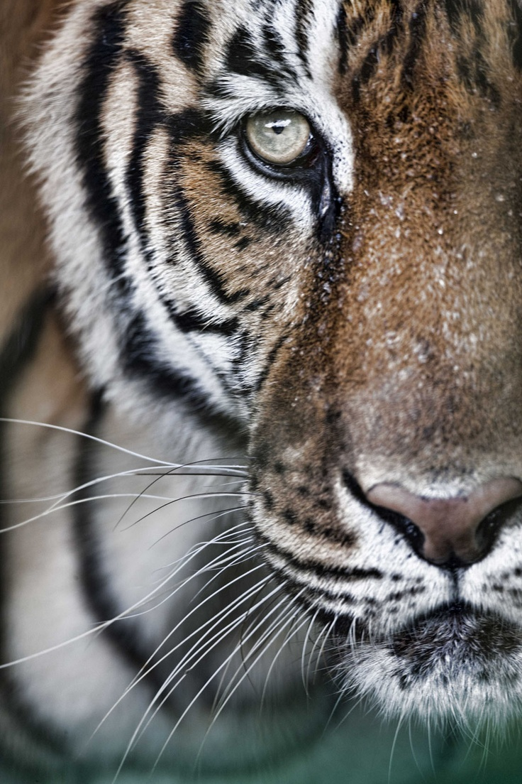The Eye of the Tiger by Cobble-Art #tiger #cat | Wildlife ...