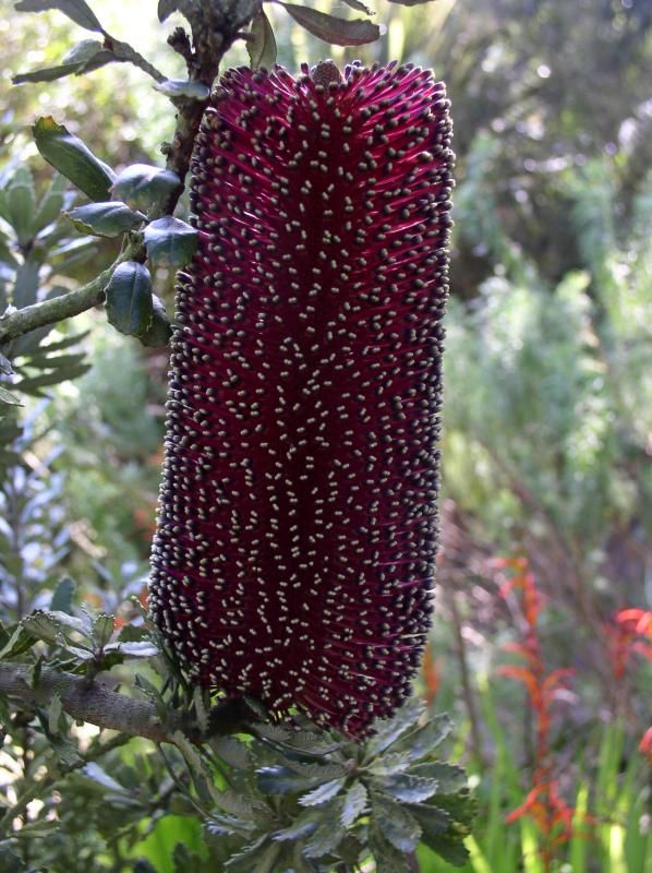Banksia praemorsa (red variety) But it's deep enough of red-purple to fall into the #RadiantOrchid color scheme. Repinned by www.loisjoyhofmann.com Also see my #FlowersAroundtheWorld board. p1