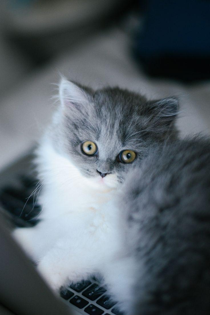 Chat gris bicolore bleu et blanc : chaton british longhair des British du clos d'Eugénie (élevage de british shorthair et longhair). Mannequin : Lynn et Photo : Vanessa Pouzet   Beautiful cat blue and white   British longhair kitten