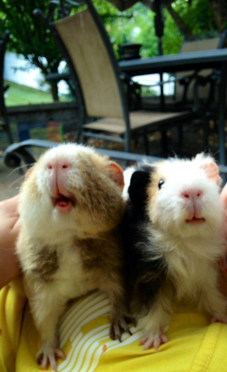 Happy piggies                                            #pigs #guineapig