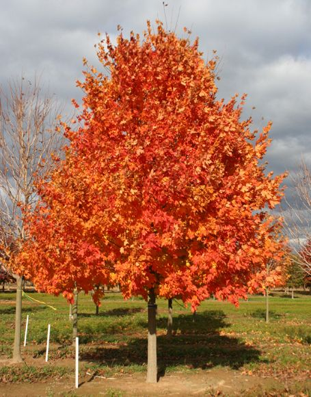 Finally, we're hoping our Commemoration sugar maple has ... | 455 x 580 jpeg 71kB