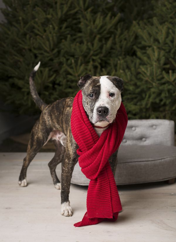 Adopt Me Freedom The Handsome Terrier Mix Dogs Dog Mommy Pitbull Dog