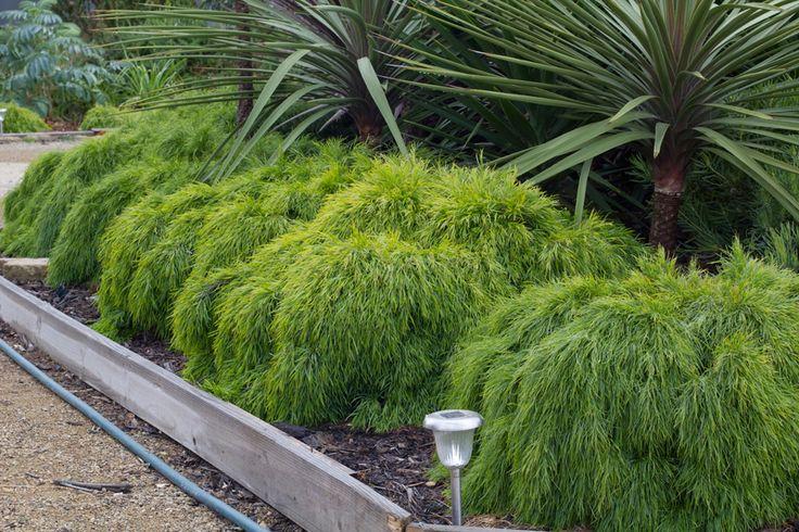 Acacia 'Limelight'