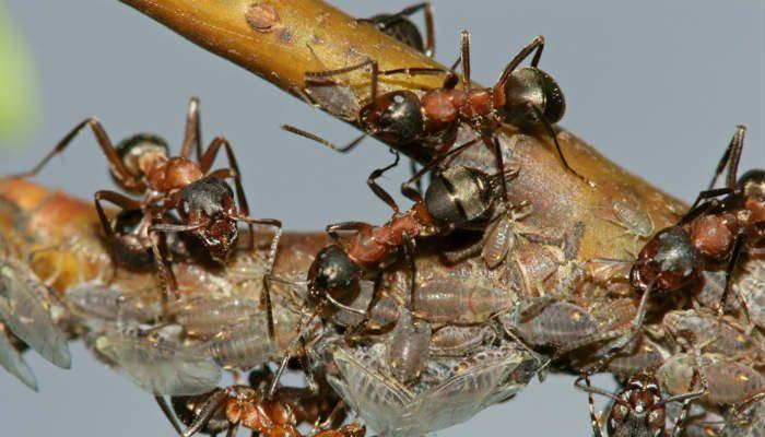 С муравьями борюсь гремучей смесью | болезни и вредители