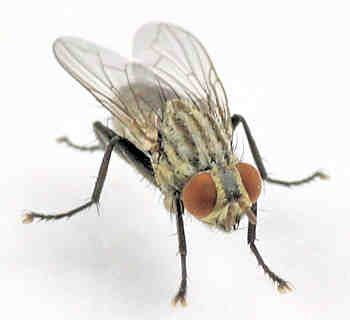 How to get rid of flesh flies and stop further infestations