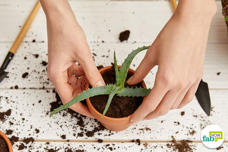How to revive a wilted aloe vera plant fab how growing