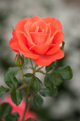 An orange rose