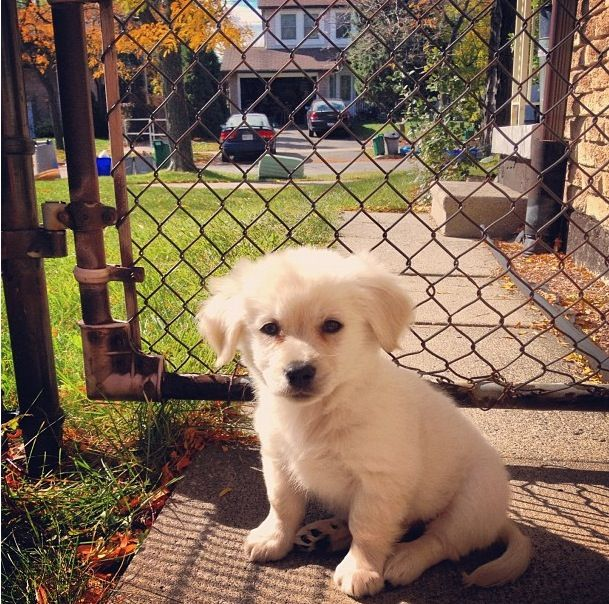 Golden retriever & Pomeranian mix...that looks like my ...