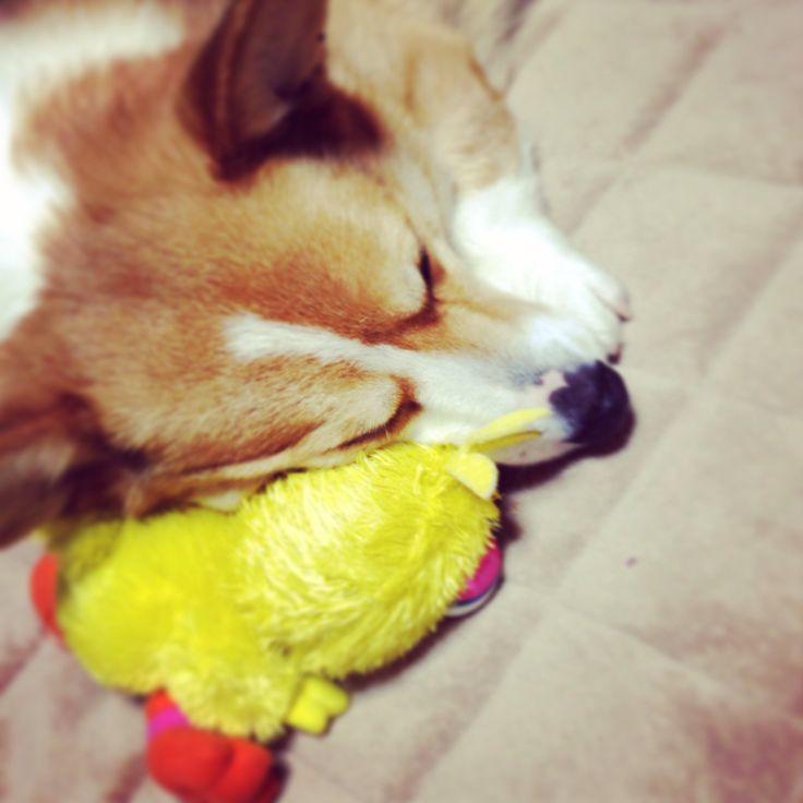 He loves BIGBIRD! #dog #corgi