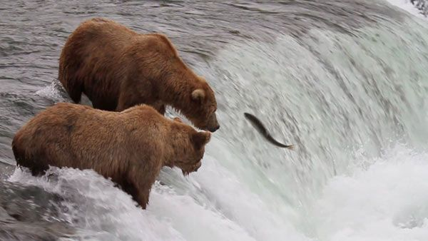 #Bearcam may just be the best thing ever. Explore.org has two hi-def webcams turned on in Alaska's Brooks River in Katmai National Park. More than a hundred Brown Bears gather along a mile long stretch of Brooks River there each year, to pig out on the world's largest Sockeye Salmon run.